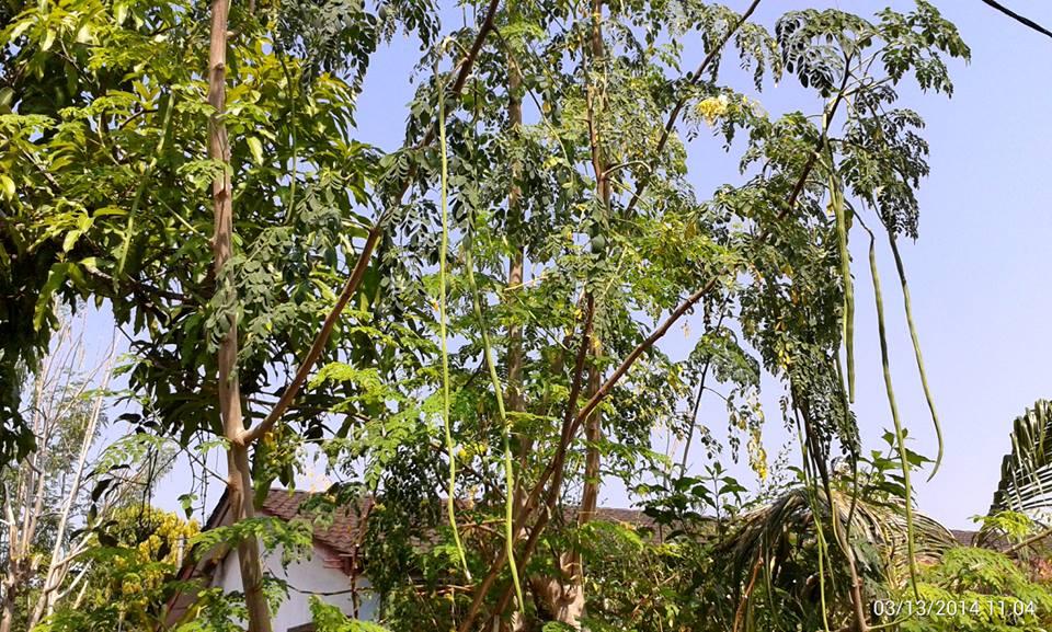 Amazing Moringa