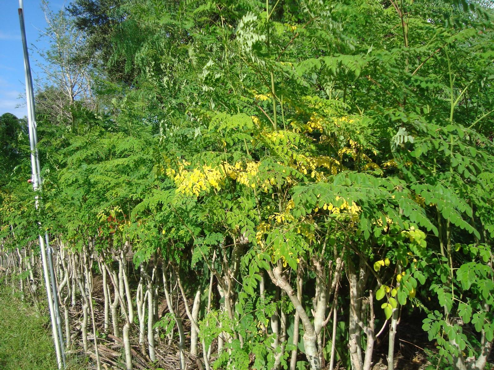 moringa oleifera tree1