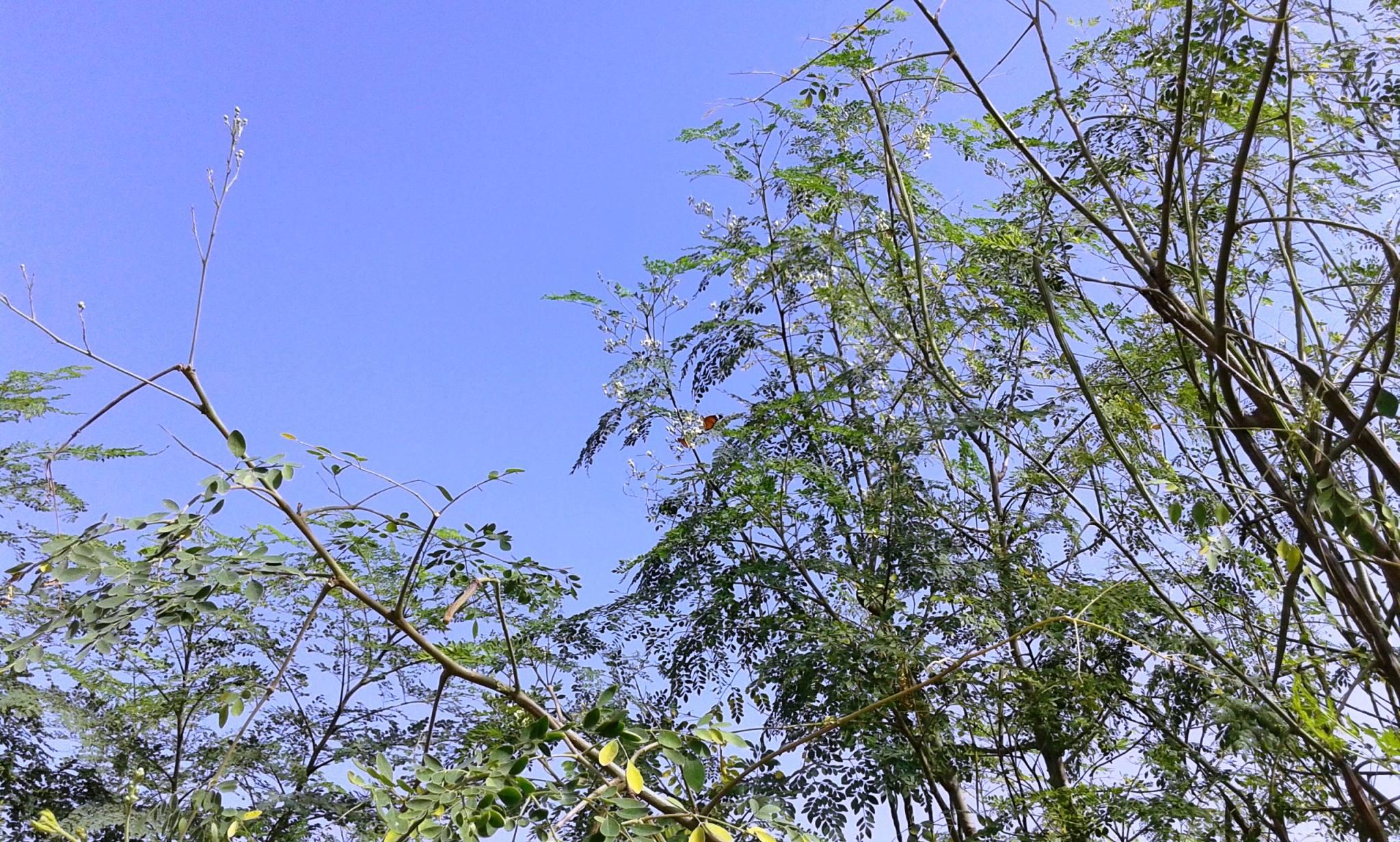 moringa-oleifera-tree10