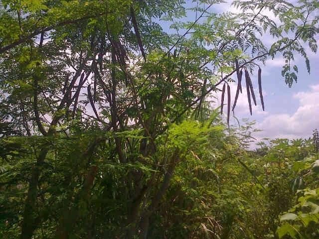 moringa-oleifera-tree12