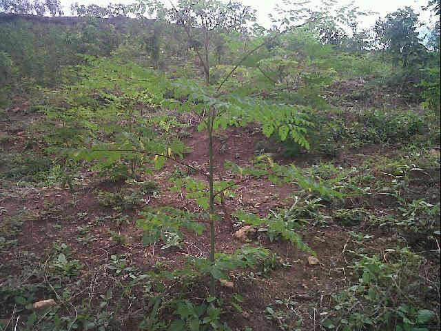 moringa-oleifera-tree13