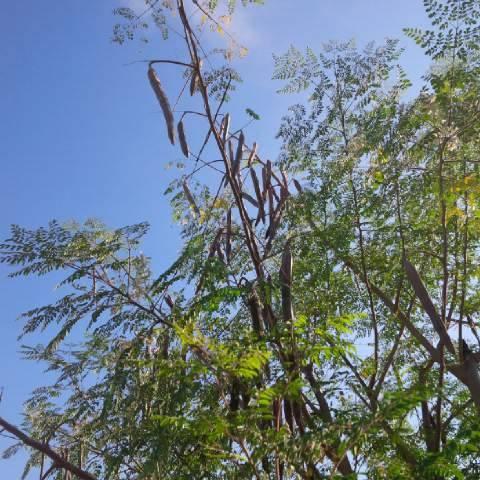 moringa-oleifera-tree19