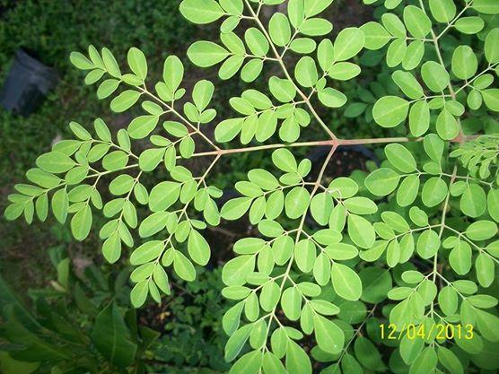 moringa-oleifera-tree2