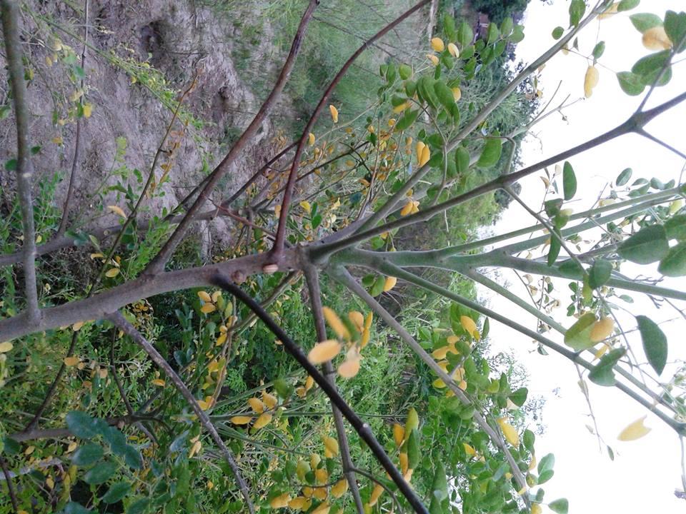 moringa-oleifera-tree21