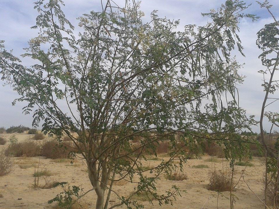 moringa-oleifera-tree22