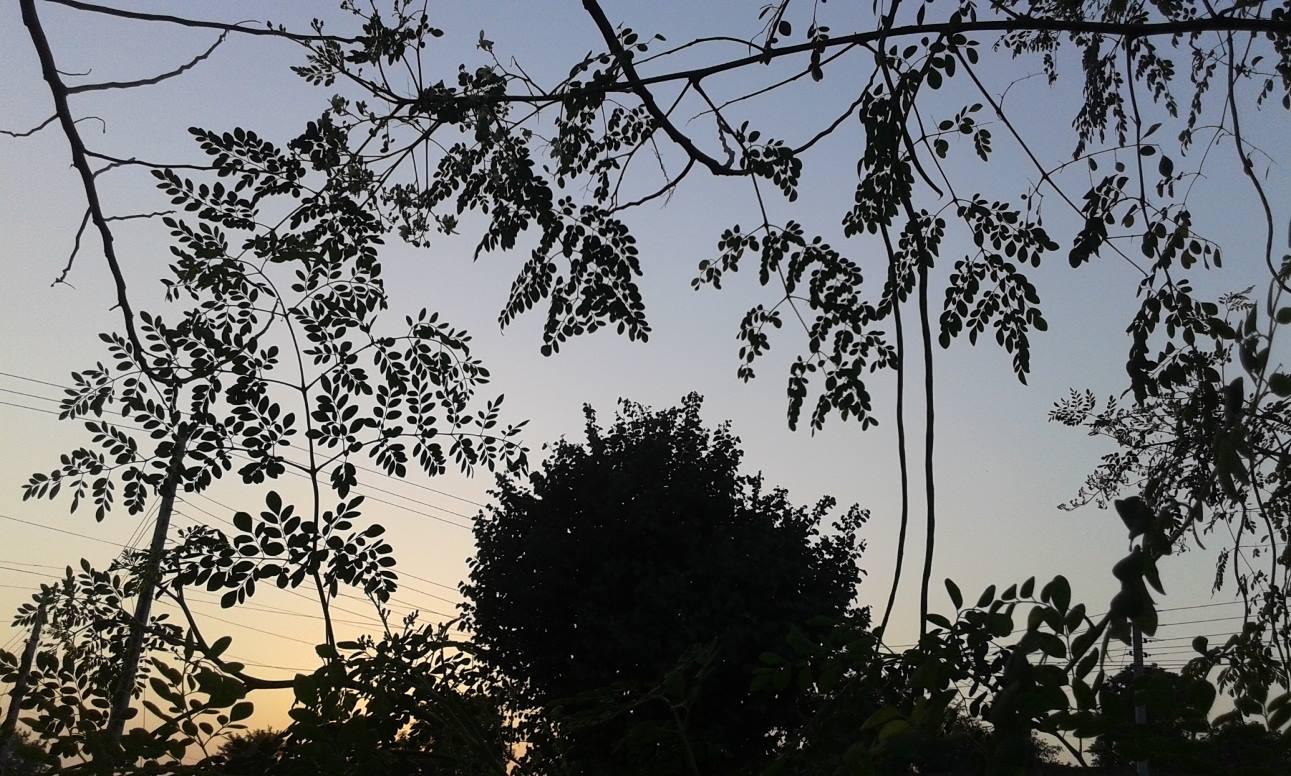 moringa-oleifera-tree23