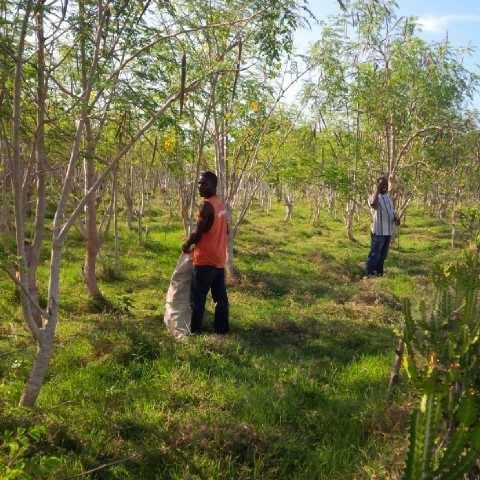 moringa-oleifera-tree24