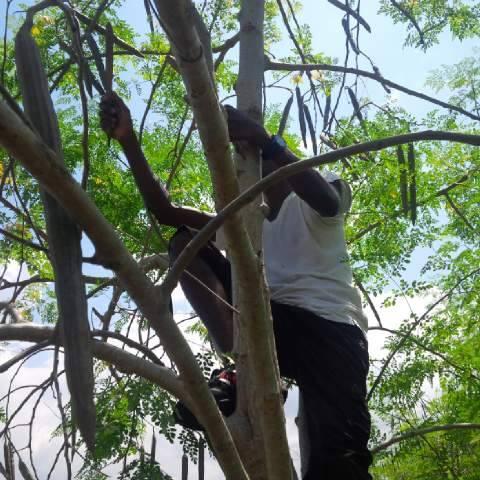moringa-oleifera-tree29