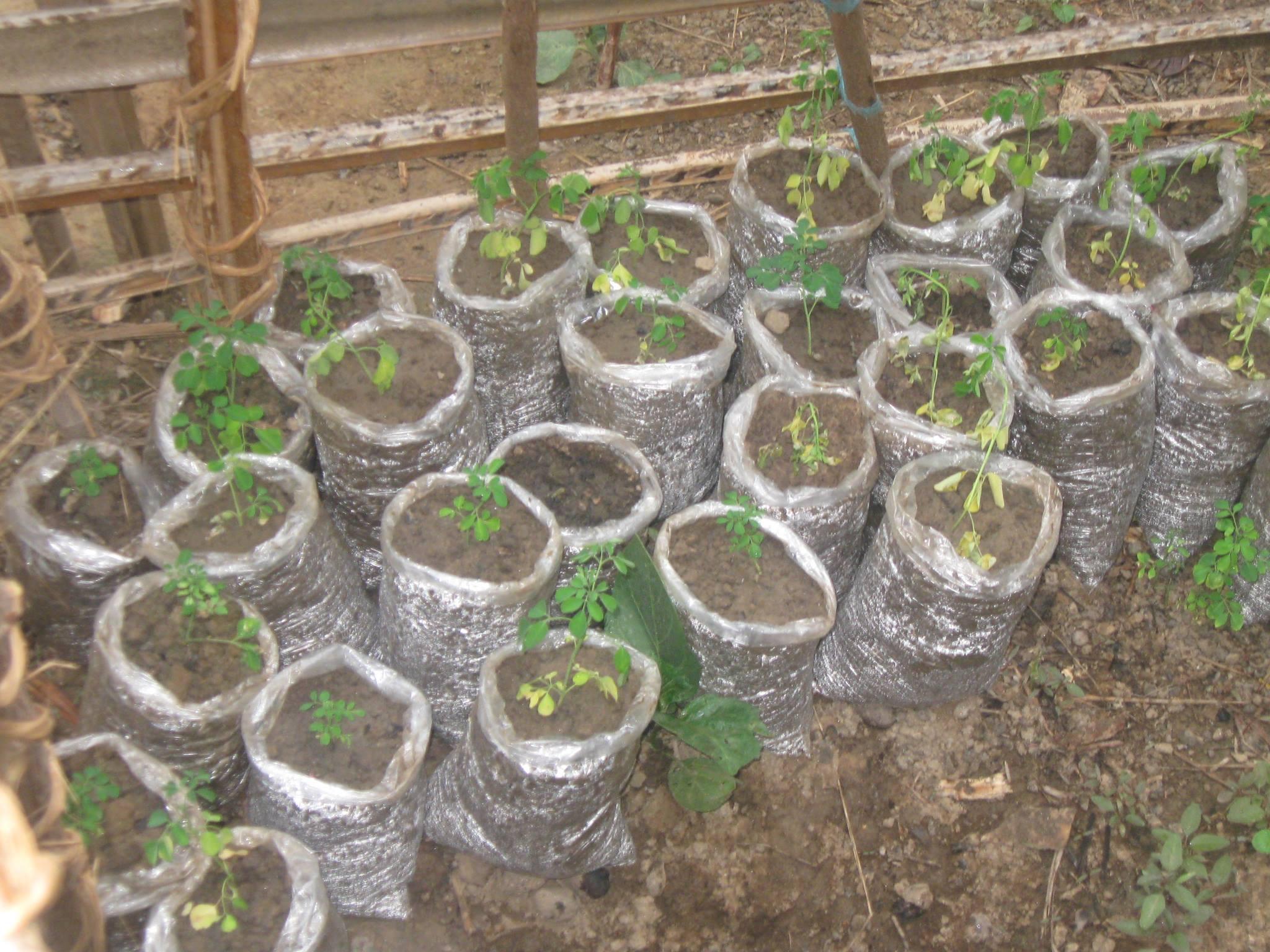 moringa-oleifera-tree3