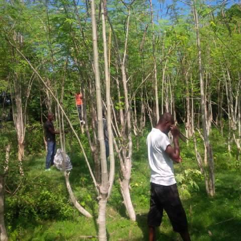 moringa-oleifera-tree30