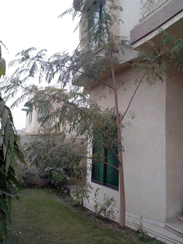 moringa-oleifera-tree31