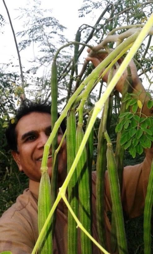 moringa-oleifera-tree34