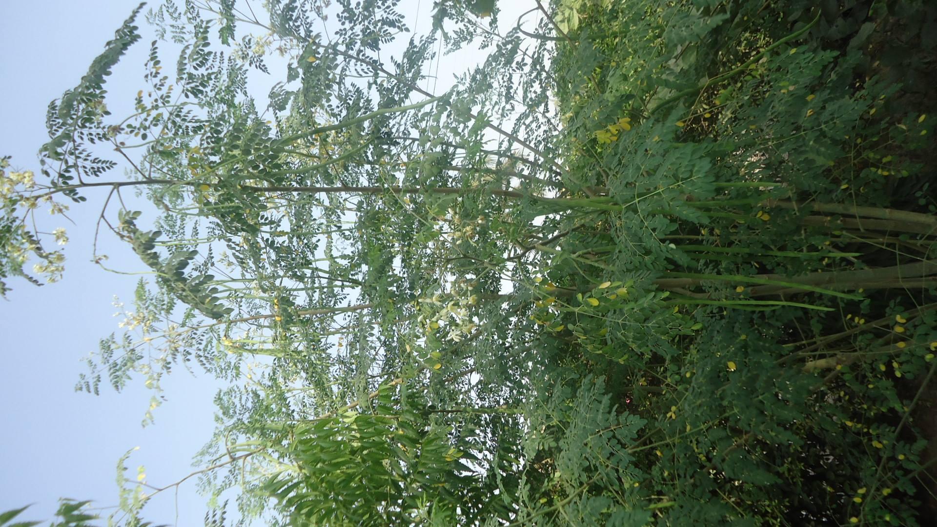 moringa-oleifera-tree35