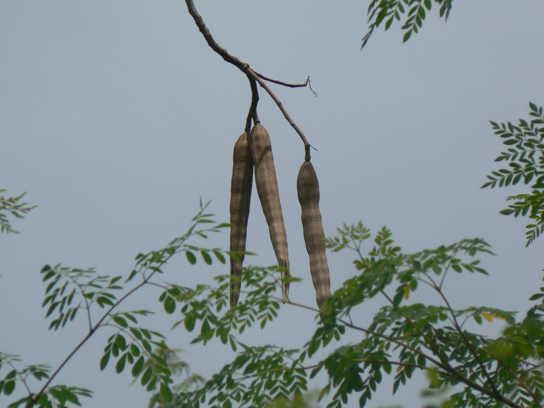 moringa-oleifera-tree41