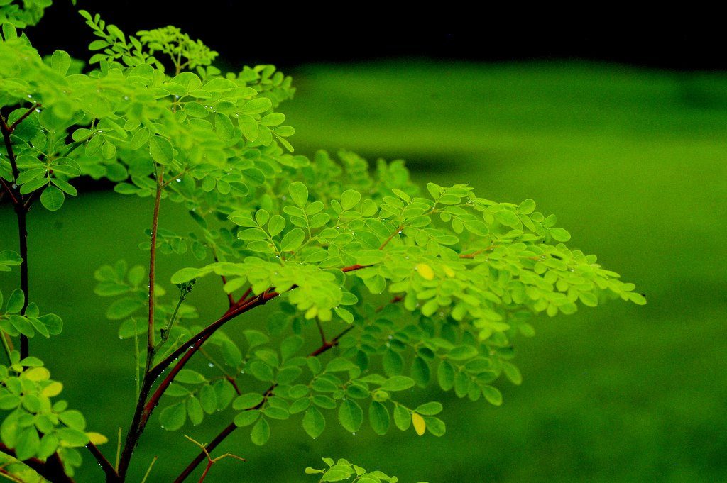 moringa-oleifera-tree42