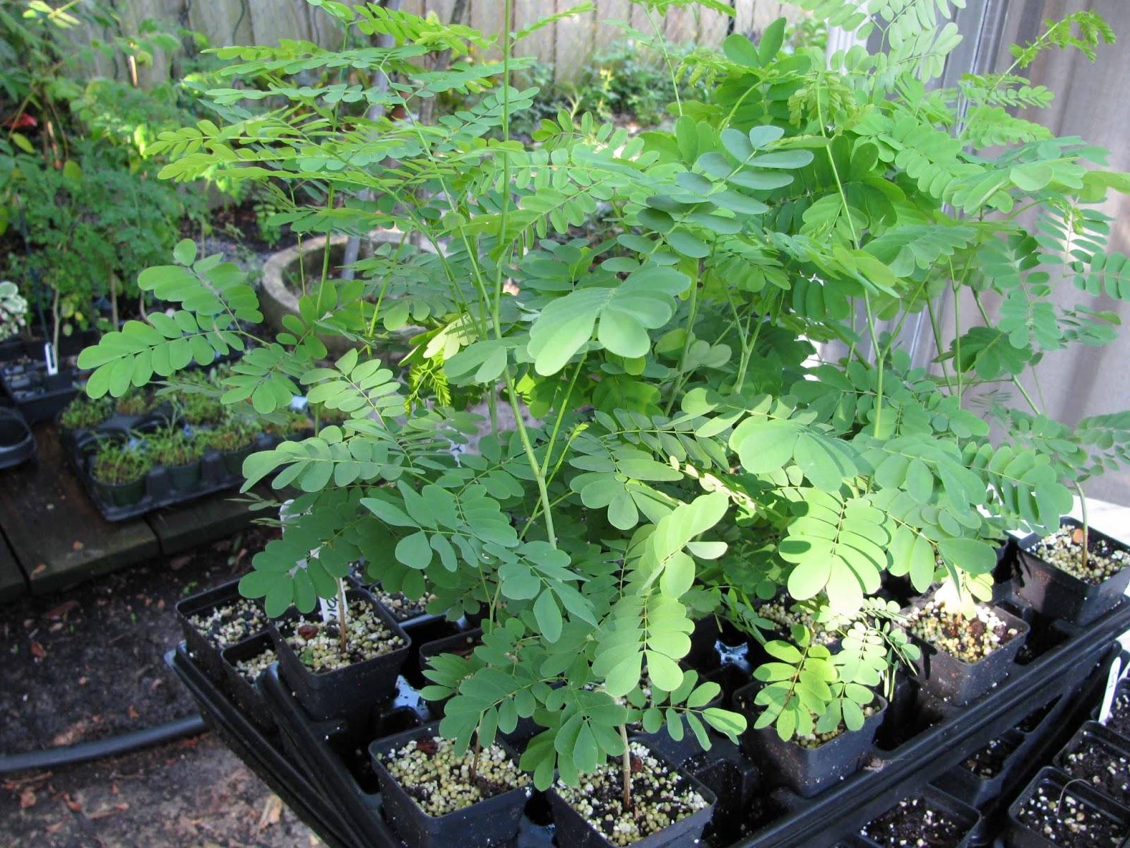 moringa-oleifera-tree61