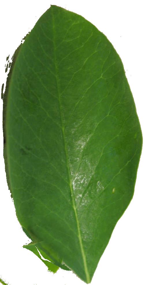 moringaleaf