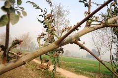 moringa-oleifera-tree14