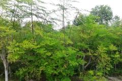 moringa-oleifera-tree15