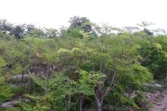 moringa-oleifera-tree16