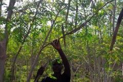 moringa-oleifera-tree17