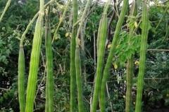moringa-oleifera-tree18