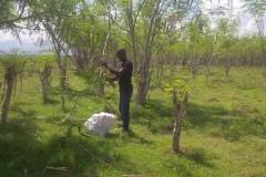 moringa-oleifera-tree20