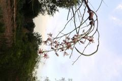 moringa-oleifera-tree28