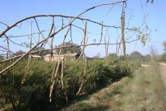 moringa-oleifera-tree36