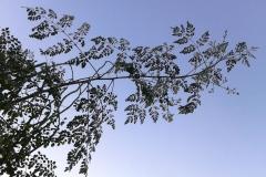 moringa-oleifera-tree37