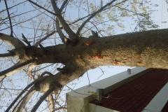 moringa-oleifera-tree39