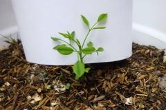 moringa-oleifera-tree5