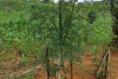 moringa-oleifera-tree53