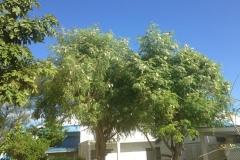 moringa-oleifera-tree6
