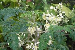 moringa-oleifera-tree60