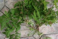 moringa-oleifera-tree62