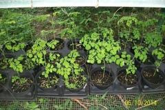 moringa-oleifera-tree8