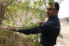 moringa-oleifera-tree9