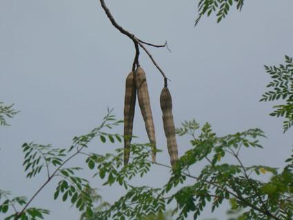 moringa-oleifera-oil-tree