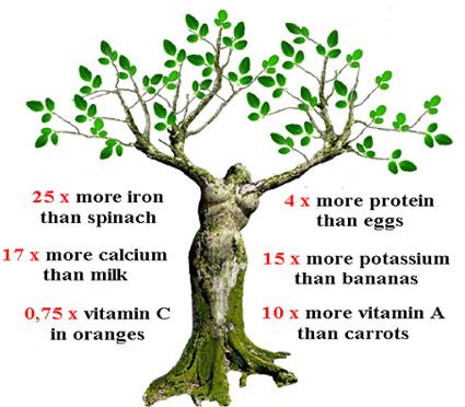 moringa oleifera leaves medicinal uses